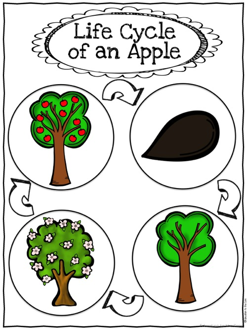 Life Cycle of an Apple Printable